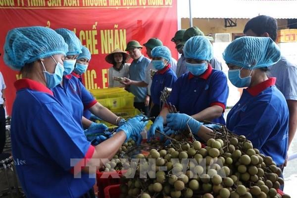 Chuẩn bị xuất khẩu lô nhãn đầu tiên sang Australia và Singapore