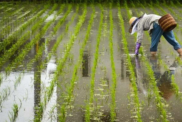 Nhật Bản: Tỷ lệ tự cung tự cấp lương thực tăng lần đầu tiên trong 11 năm