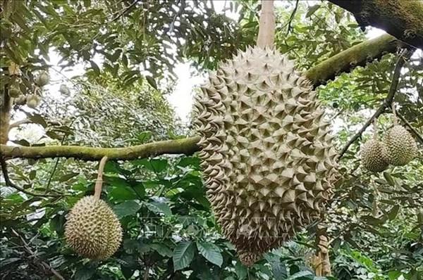 Đắk Lắk không có việc thu thuế người trồng sầu riêng