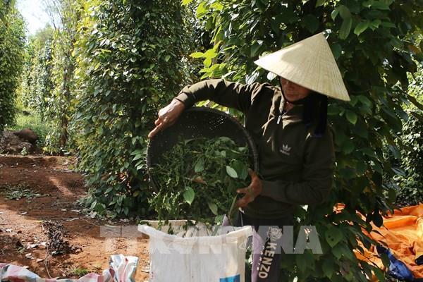 Hồ tiêu Việt Nam mắc kẹt tại Nepal vẫn chưa xác định được ngày về