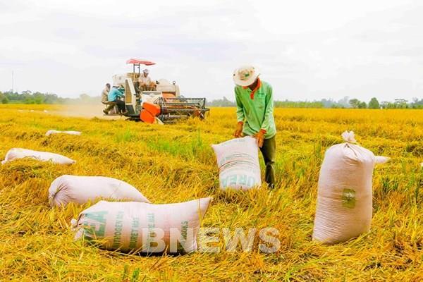 Giá lúa ở ĐBSCL tăng cao nhờ thông tin tích cực từ thị trường xuất khẩu