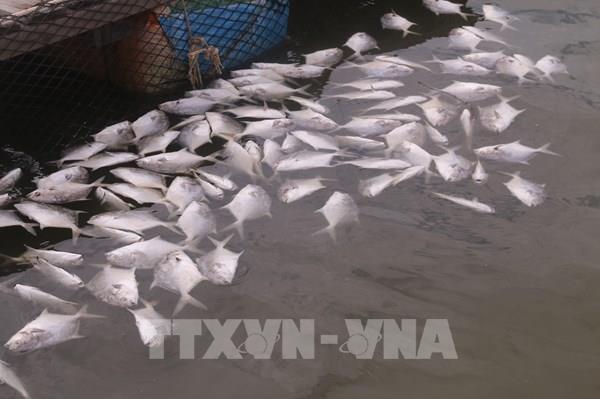 Cá nuôi lồng bè trên sông Chà Và chết hàng loạt
