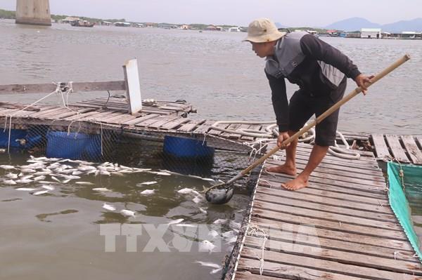 Cá nuôi lồng bè chết hàng loạt gây thiệt hại hơn 10 tỷ đồng