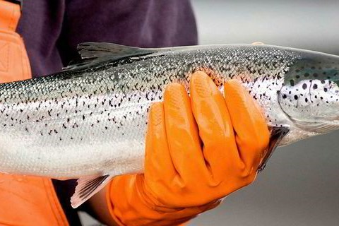 Chile áp mức phạt kỷ lục với công ty sản xuất cá hồi Na Uy