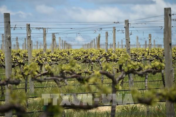 Trung Quốc mở cuộc điều tra thứ hai về rượu vang nhập khẩu từ Australia