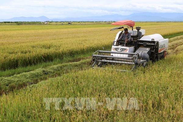 Giá lúa Hè Thu cuối vụ tăng từ 300-600 đồng/kg