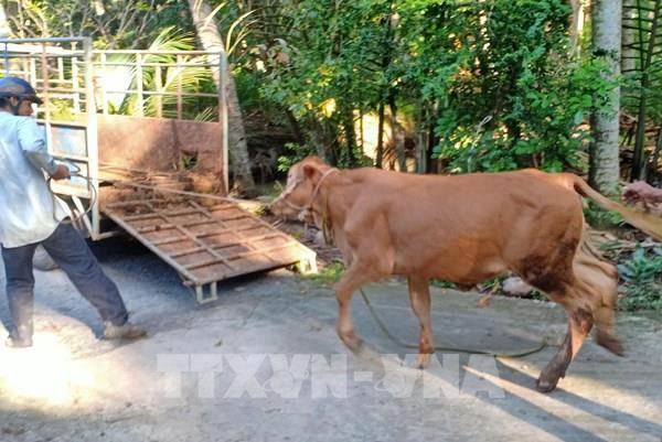 Nuôi bò giúp nông dân vùng hạn tăng thu nhập