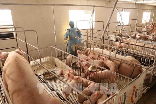 Nhật Bản: Xuất khẩu thịt lợn sẽ gặp khó khi dịch tả lợn xuất hiện trở lại