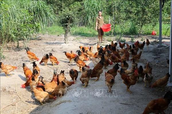 Hiệu quả từ sáng kiến chăn nuôi cho người nghèo