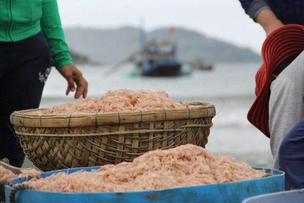 Ngư dân Bạc Liêu thu nhập khá nhờ trúng mùa ruốc