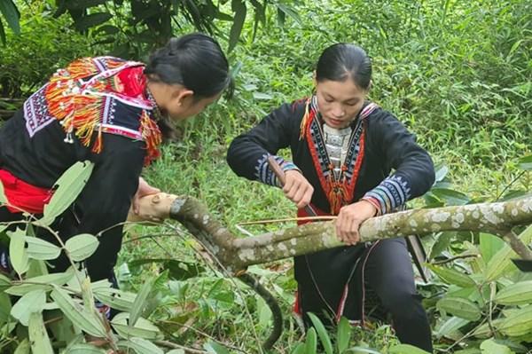 Lào Cai: Xây dựng chuỗi liên kết trong sản xuất, tiêu thụ lâm sản sạch