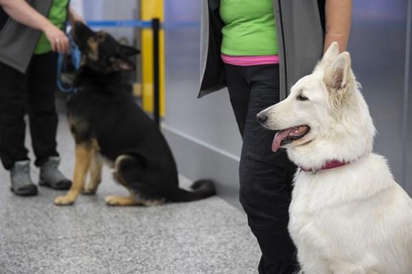 Phần Lan mang chó ra đánh hơi virus SARS-CoV-2 tại sân bay