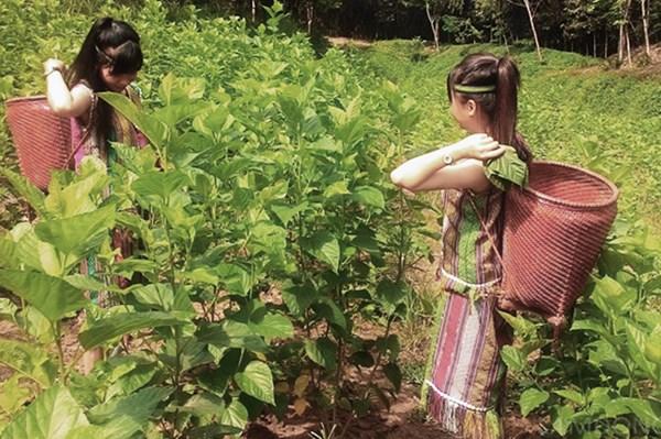 Trồng dâu nuôi tằm giúp đồng bào vùng sâu ổn định kinh tế