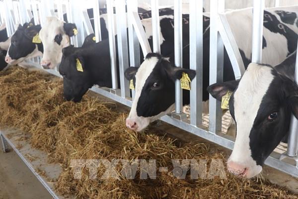 Trang trại TH tại Phú Yên đón đàn bò sữa cao sản thuần chủng đầu tiên