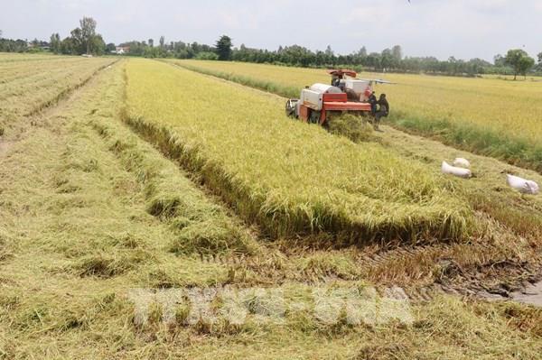 Hiệp định EVFTA: Ngành lúa gạo sản xuất đáp ứng yêu cầu thị trường EU