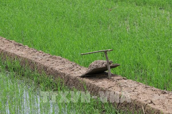 Những bẫy chuột độc đáo và hiệu quả của nông dân Đồng Tháp