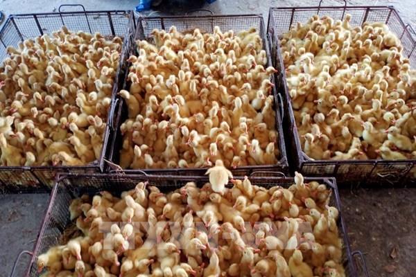 Hưng Yên thí điểm nuôi vịt an toàn sinh học theo hướng VietGap