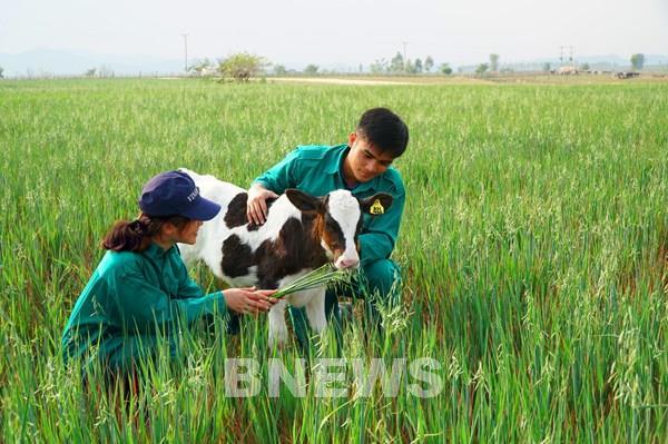 Dự kiến nhập hơn 1.000 con bò sữa Mỹ về trang trại Vinamilk Quảng Ngãi
