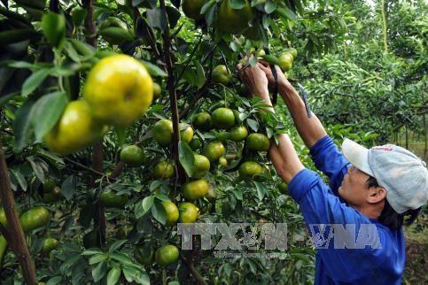 Phê duyệt đề án bảo tồn diện tích quýt Hồng hơn 500 ha