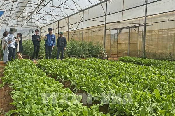 Giá nhiều loại rau xanh tại Đà Lạt tăng mạnh
