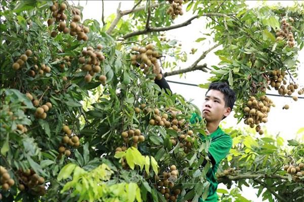 Hưng Yên khuyến khích phát triển cây ăn quả trên đất lúa kém hiệu quả