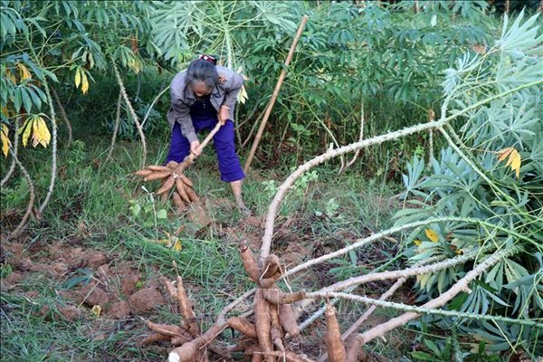 Indonesia có thể xuất khẩu 165.000 tấn sắn sang EU mỗi năm