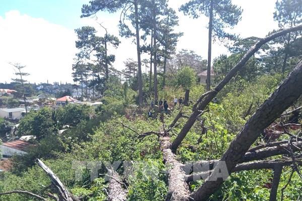 Làm rõ vụ chặt hạ cây thông cổ thụ tại khu đất vàng Đà Lạt