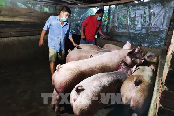 Giá lợn hơi có xu hướng tăng trở lại