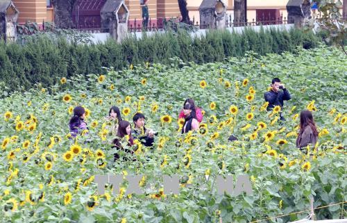 Hoa hướng dương nở giữa Hoàng Thành - hình 3