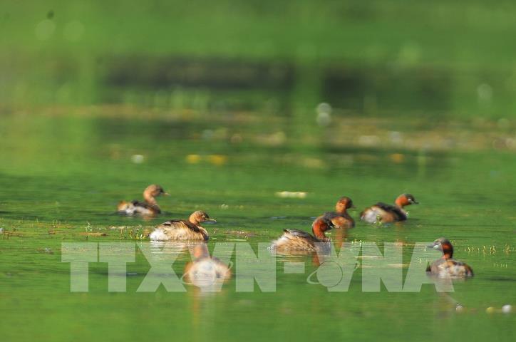 Chiêm ngưỡng vẻ đẹp của loài chim le le ở khu danh thắng Tràng An - hình 2