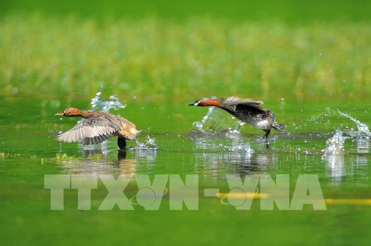 Chiêm ngưỡng vẻ đẹp của loài chim le le ở khu danh thắng Tràng An - hình 3