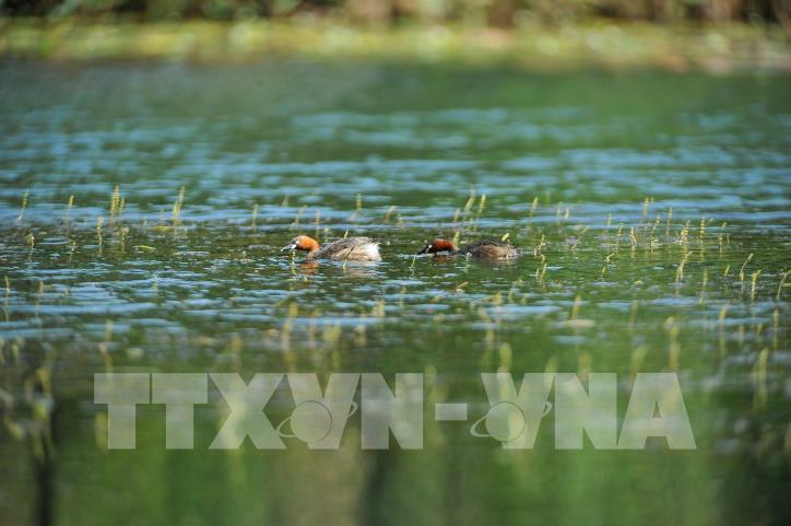 Chiêm ngưỡng vẻ đẹp của loài chim le le ở khu danh thắng Tràng An - hình 4