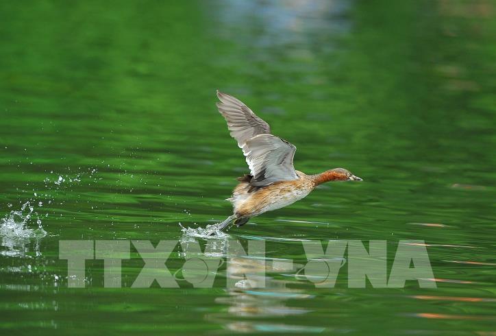 Chiêm ngưỡng vẻ đẹp của loài chim le le ở khu danh thắng Tràng An - hình 5