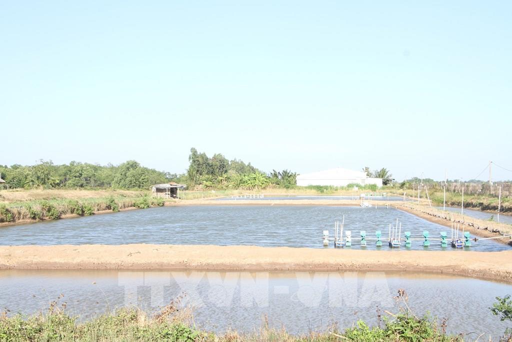 Kỳ vọng vào vụ tôm nước lợ 2021