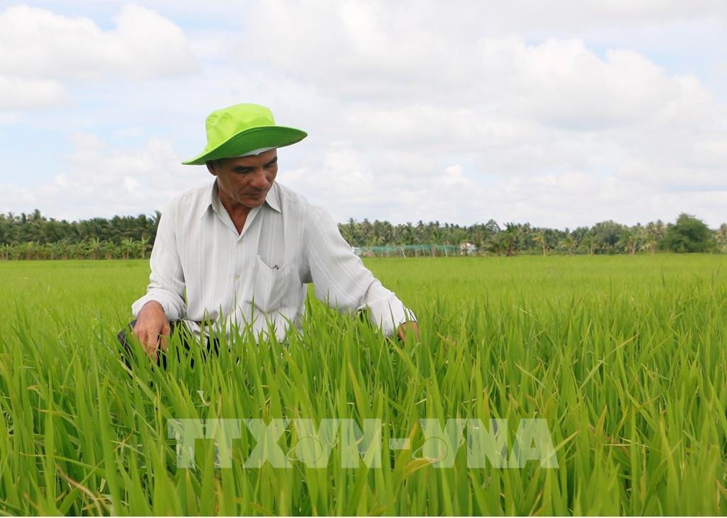 Ông Đặng Văn Tài, Giám đốc Hợp tác xã nông nghiệp - dịch vụ Tấn Đạt thăm ruộng lúa hữu cơ đã xuống giống hơn 30 ngày. Ảnh: Phạm Minh Tuấn-TTXVN