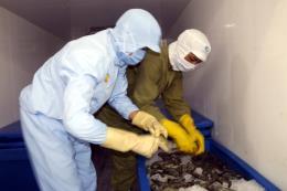 Triển khai nhiều giải pháp ngăn chặn tình trạng bơm tạp chất vào tôm
