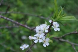 Mê đắm vẻ đẹp tinh khôi của hoa mận phủ trắng cao nguyên Bắc Hà