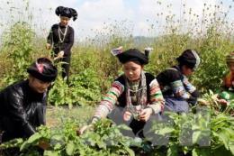 Cơ hội phát triển ngành công nghiệp dược liệu Việt Nam