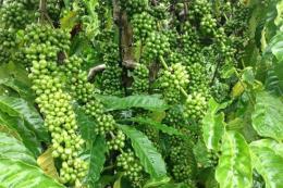 Đắk Lắk đưa các giống cà phê mới vào trồng tái canh