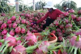 Bình Thuận phát triển mạnh thanh long VietGAP