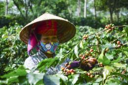Nông dân Đắk Nông trồng cà phê trúng mùa, trúng giá