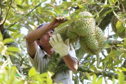 Giá sầu riêng trái mùa tăng mạnh