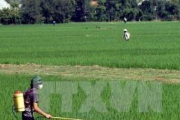 Nguy cơ bùng phát bệnh lùn sọc phương Nam hại lúa