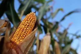 Ngô và đậu tương tăng giá cuối tuần qua