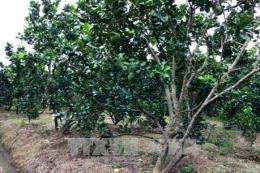 Thừa Thiên - Huế chăm sóc bưởi thanh trà bị ngập úng sau lũ lụt