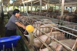 Giá lợn tăng, khan hiếm nguồn cung