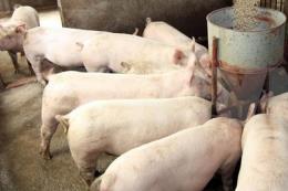 Phát hiện virus gây tiêu chảy ở lợn có nguy lây sang người