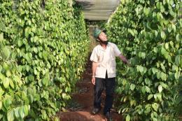 Giúp nông dân trồng hồ tiêu vượt khó khăn
