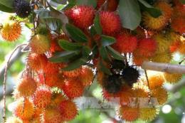 Nâng cao chuỗi giá trị trái cây đặc sản- Bài 2: Chất lượng gắn liền thị trường