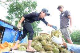 Đồng Nai khuyến cáo nông dân không ồ ạt trồng sầu riêng
